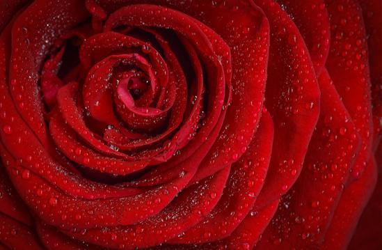 Rose aus  Remchingen - Darmsbach, Nöttingen, Wilferdingen und Singen, Sperlingshof