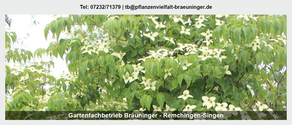 Kletterpflanzen Königsbach-Stein - Gartenfachbetrieb Bräuninger: Obstbäume, Floristik, Rosen,