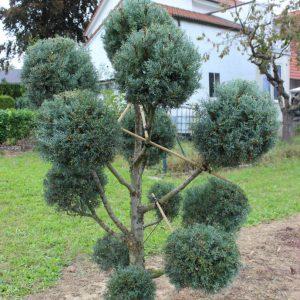 1-14-Cupressus-arizonica-pompon-12K