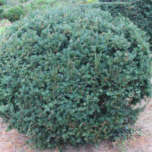 2-1-Taxus-Schwarzgrün-Kugel