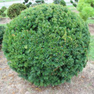 2-10-Taxus-cuspidata-Kugel