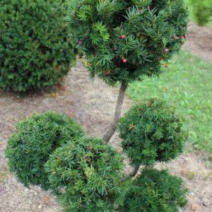 2-11-Taxus-cuspidata-pompon-5K