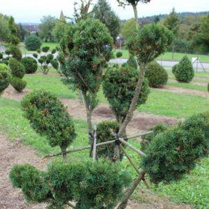 2-15-Taxus-baccata-pompon-10T