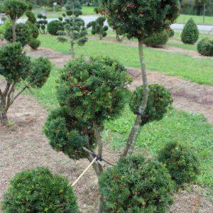 2-16-Taxus-cuspidata-pompon-7K