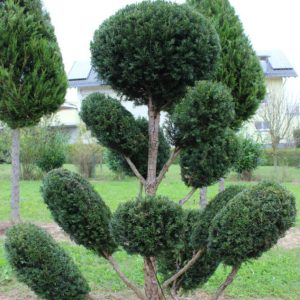 2-19-Taxus-baccata-pompon-11T
