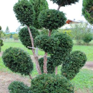 2-20-Taxus-baccata-pompon-11T