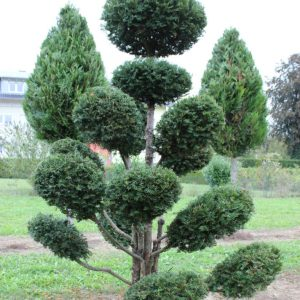2-21-Taxus-baccata-pompon-14T