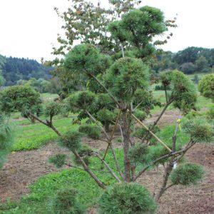 2-23-Pinus-Watereri-pompon-20T