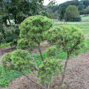 2-24-Pinus-mughus-pompon-8T