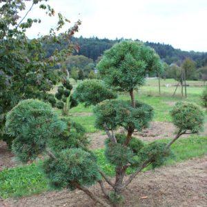2-25-Pinus-Watereri-pompon-11T