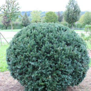 2-3-Taxus-Schwarzgrün-Kugel