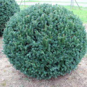 2-4-Taxus-Schwarzgrün-Kugel
