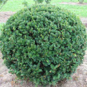 2-6-Taxus-cuspidata-Kugel