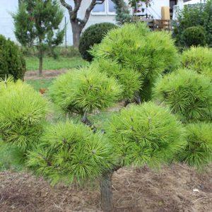 3-6-Pinus-Brepo-pompon-13K