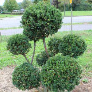 4-1-Taxus-baccata-pompon-8K
