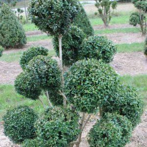 4-22-Buxus-arborescens-pompon-13K