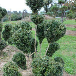 4-23-Buxus-arborescens-pompon-13K