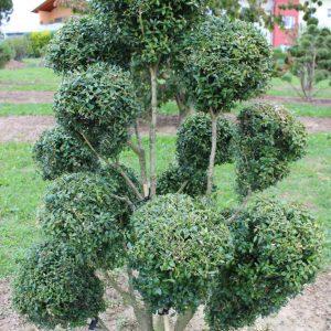 4-24-Buxus-arborescens-pompon-13K