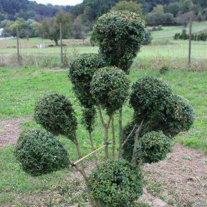 4-25-Buxus-arborescens-pompon-10K