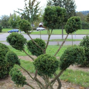 4-4-Taxus-baccata-pompon-10T