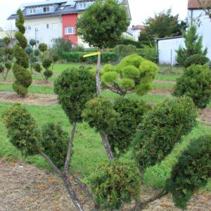 4-5-Taxus-baccata-pompon-9T