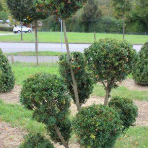 4-6-Taxus-Hicksii-pompon-10K