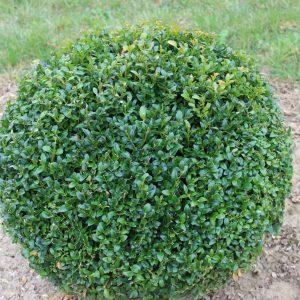 5-4-Buxus-arborescens-Kugel
