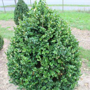 5-5-Buxus-Rotundifolia-Kegel