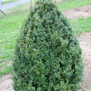 6-1-Buxus-arborescens-Kegel