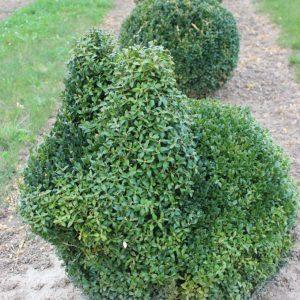 6-11-Buxus-arborescens-Hase