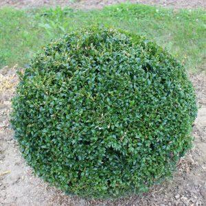 6-12-Buxus-arborescens-Kugel