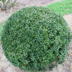 6-5-Buxus-arborescens-Kugel