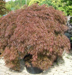 Acer-palm.-diss.-Ornatum
