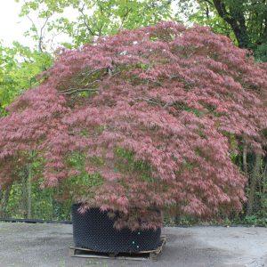 Acer-palmatum-Dissectum-rot