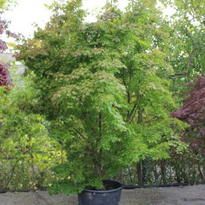 Acer-palmatum-Orange-Dream