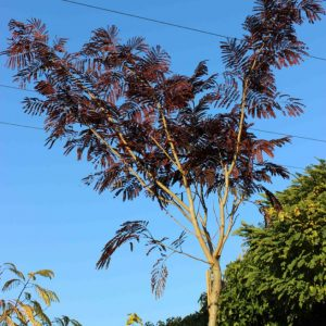 Albizia-julibr.-Summer-Chocolate