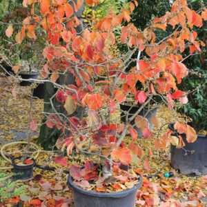 Hamamelis-interm.-Orange-Beauty