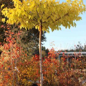 Morus-platanifolia-Fruitless