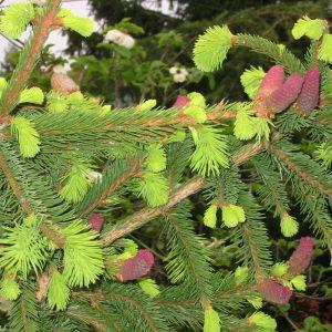 Picea ab. Acrocona