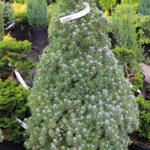 Picea glauca 'Conica Blue'